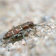 Sandlaufkäfer (Lophyra flexuosa flexuosa), Männchen