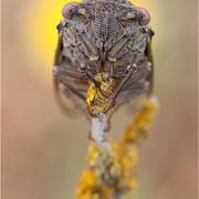 Singzikade / Gemeine Zikade (Lyristes plebeja), nach dem Schlupf in der Nacht noch nicht in die Baumspitzen geklettert
