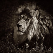 Le roi lion Photo: J Houriez
