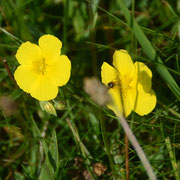 Common Rockrose (Helianthemum nummularium)
