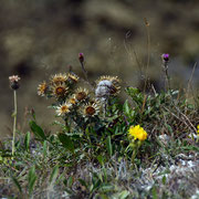 The edge dwellers at Windmill Down - Carline Thistle (Carlina acaulis)