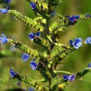Vipers Bugloss (Echium vulgare)