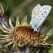 Chalk Hill Blue (Polyommatus coridon) on a Carline Thistle (Carlina acaulis)