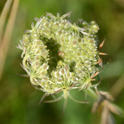 Queen Anne's Lace - wild carrot  Daucus carota