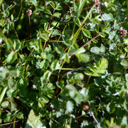 Salad Burnett (Sanguisorba minor)