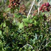 Wild privet (ligustrum  vulgare) and bramble (Rubus fruticosus)