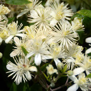 Old man's beard or Travellers Joy (Clematis vitalba)