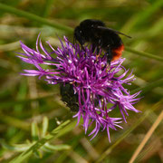 Bee on Greater Knapweed