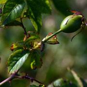 Rosehip of Sweet Briar (Rosa rubiginosa)