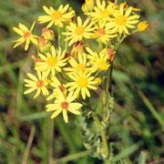 Common Ragwort (senecio jabaea)