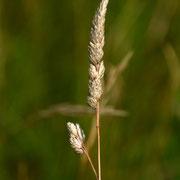 Grasses - cockspur