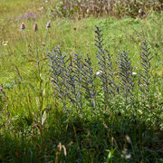 Vipers Bugloss (Echium vulgare) and teasels