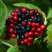 Wayfaring tree berries in two-colour stage