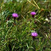 Lesser Knapweed Centaurea nigra  ( AkaCommon Knapweed and Black Knapweed). A vernacular name is Hardheads
