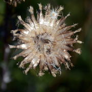 Carline Thistle (Carlina acaulis) seed head with seed all gone ?
