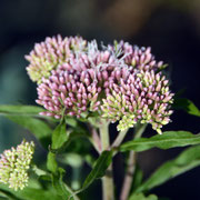 Cherry pie plant  - Hemp agrimony (Eupatorium cannabinum)