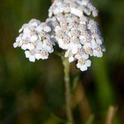 Yarrow (Achillea milefollium)