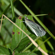 Small White (Pieris rapae)female