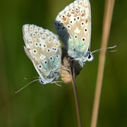 Male and female Chalk Hill Blue (Polyommatus coridon)