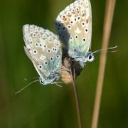 Male and female Chalk Hill Blue (Polyommatus coridon)
