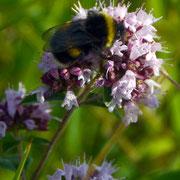Bee on Majoram blossom