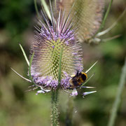 Teasel (Dipsacus fullonum) and bee