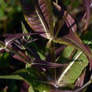 Teasel foliage