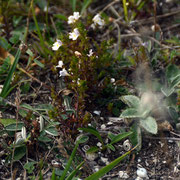 The edge dwellers at Windmill Down - Common eyebright (Euphrasia nemorosa)