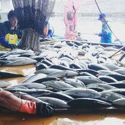 朝の漁港は 大賑わい