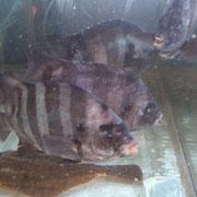 石鯛 コリコリの食感