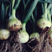 玉ねぎ(Onion)