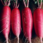 赤大根(Redradish)