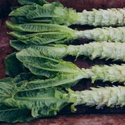 ステムレタス(Stem lettuce)