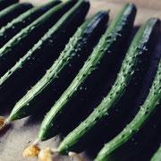 キュウリ(Cucumber)