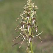Himantoglossum hircinum / Bocks-Riemenzunge