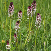 Orchis ustulata / Brand-Knabenkraut