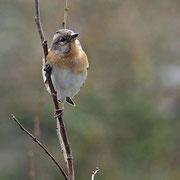 Fringilla montifringilla - Bergfink (Weibchen)