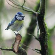 Parus caeruleus - Blaumeise