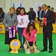 単犬種特別合同本部展BOS(雌組優勝)受賞時の画像をご覧ください。