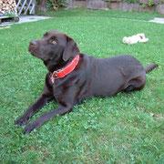 Qiucky at home / Quickie als Junghund zu Hause
