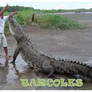 Cocodrilos en Río Tarcoles