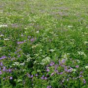 Pré-montagne-Abeille-Bee-field-Bienen-Bergwiese