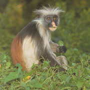 MONO KIRK RED COLOBUS
