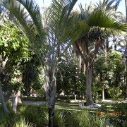 Palmeral in Elche