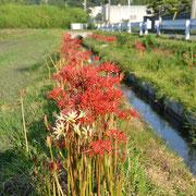 上津橋水路に咲く白い彼岸花