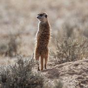 meerkat | kgalagadi transfrontier park | botswana 2018