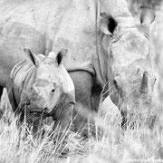 rhino with cub | okambara | namibia 2014