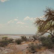 baobab | kubu island | botswana