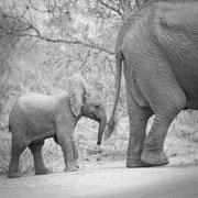 baby elephant | krueger national park | south africa 2016