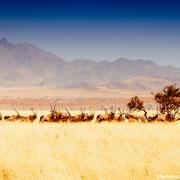 oryxc herd namib naukluft park | pad D707 | namibia 2012
